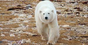polar-bear-155x300